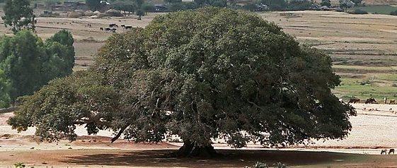 sykomora